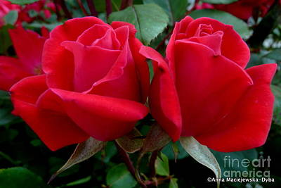 Folkartanna Photograph - Red Roses In Love by Anna Folkartanna Maciejewska-Dyba