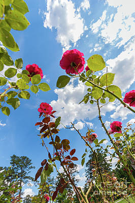 Photograph - Red Roses In North Carolina by Dan Carmichael
