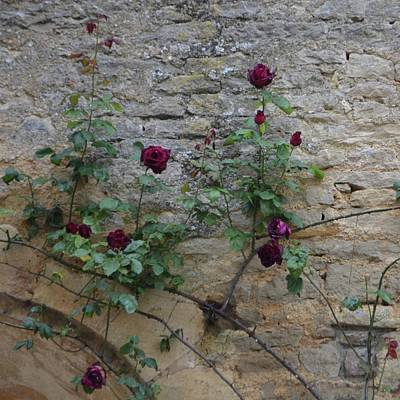 Photograph - Red Roses On Castle Wall by Cheryl Miller