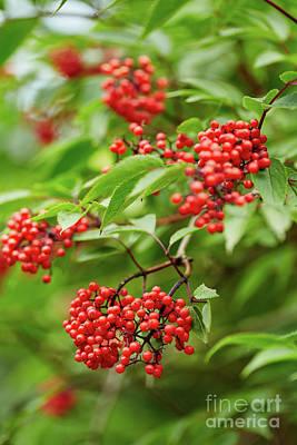 Rowan Tree Photograph - Red Rowan Tree Berries On Branches by Catalin Petolea