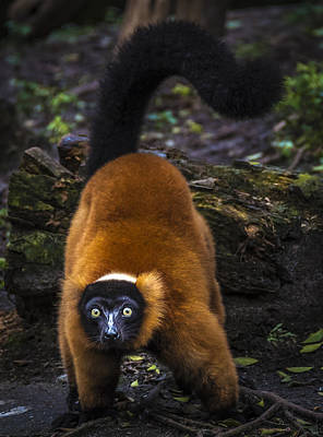 Photograph - Red-ruffed Lemur 1 by Francisco Gomez