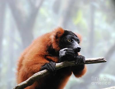 Red Ruffed Lemur Eating On A Tree Branch Art Print by DejaVu Designs