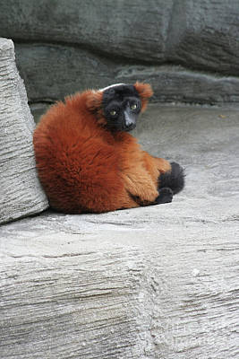 Photograph - Red Ruffed Lemur by Judy Whitton