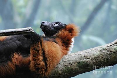 Red Ruffed Lemur Laying On His Back Art Print by DejaVu Designs
