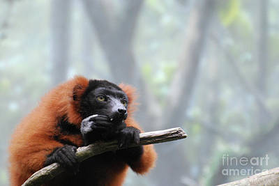 Red-ruffed Lemur Photograph - Red Ruffed Lemur Snacking With Sharp Teeth  by DejaVu Designs