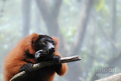 Red Ruffed Lemur Snacking With Sharp Teeth  Art Print by DejaVu Designs