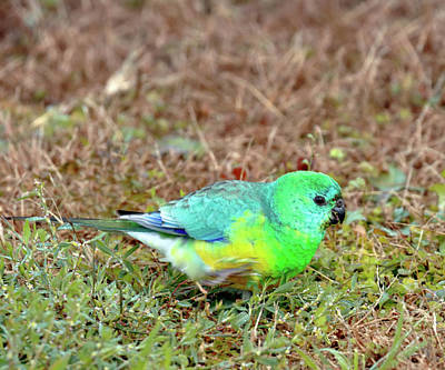 Photograph - Red Rumped Parrot by Nicholas Blackwell