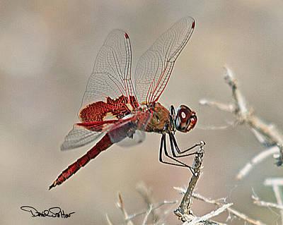 Red Saddlebags Dragonfly Art Print by David Salter