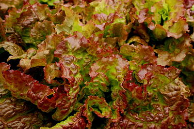 Photograph - Red Sails Lettuces by Dreamweaver Gallery