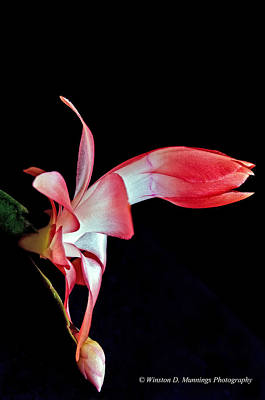 Photograph - Red Schlumbergera Or Christmas Cactus by Winston D Munnings