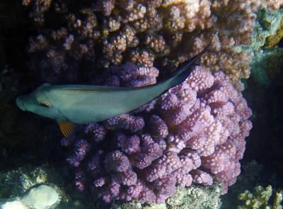 Photograph - Red Sea Acanthurus Nigrofuscus by Johanna Hurmerinta