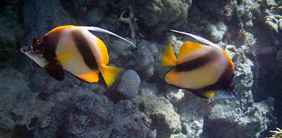 Red Sea Bannerfish 2 Art Print