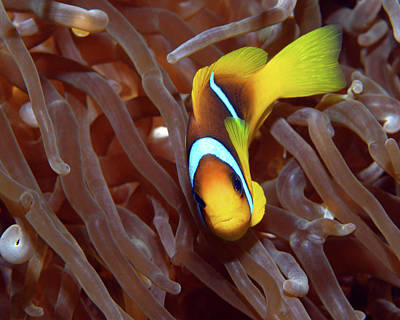Photograph - Red Sea Clownfish, Eilat, Israel 2 by Pauline Walsh Jacobson