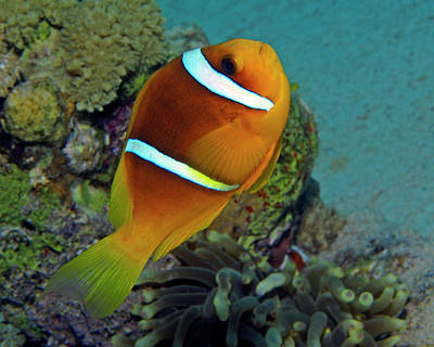 Photograph - Red Sea Clownfish, Eilat, Israel 5 by Pauline Walsh Jacobson