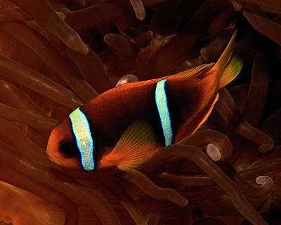 Photograph - Red Sea Clownfish, Eilat, Israel 7 by Pauline Walsh Jacobson