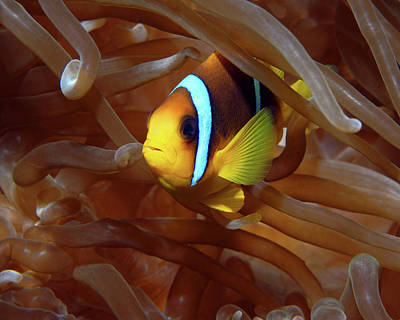 Photograph - Red Sea Clownfish, Eilat, Israel 8 by Pauline Walsh Jacobson