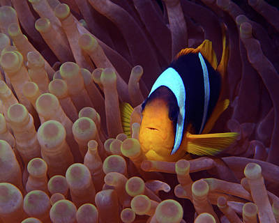 Photograph - Red Sea Clownfish, Eilat, Israel 9 by Pauline Walsh Jacobson