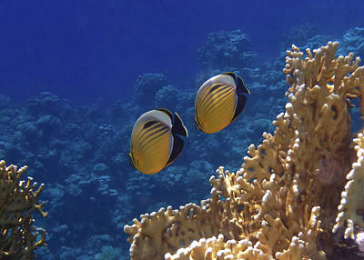 Photograph - Red Sea Exquisite Butterflyfish 2 by Johanna Hurmerinta