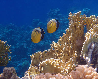 Photograph - Red Sea Exquisite Butterflyfish  by Johanna Hurmerinta