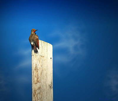 Photograph - Red Shafted Flicker by Joyce Dickens