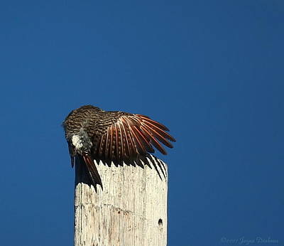 Photograph - Red Shafted Flicker Two Close Up by Joyce Dickens