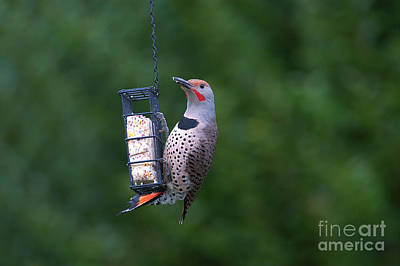 Photograph - Red-shafted Northern Flicker On Suet by Sharon Talson