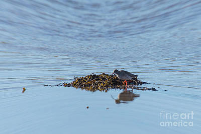 Photograph - Red Shank 01 by Brian Roscorla