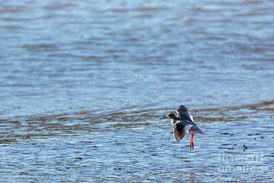 Photograph - Red Shank 02 by Brian Roscorla