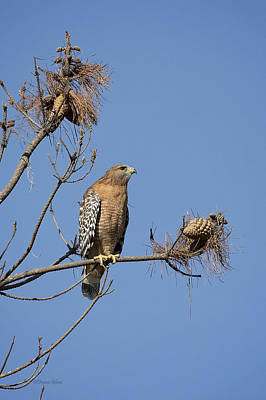 Photograph - Red Shoulder Hawk by Deana Glenz