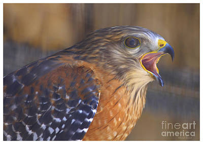 Red Shoulder Hawk Print by Deborah Benoit