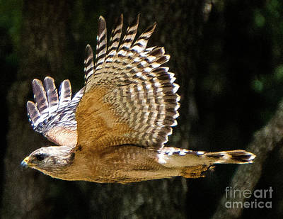 Photograph - Red-shoulder Hawk Soaring by Vincent Billotto