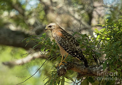 Red Shouldered Hawk Photograph - Red Shoulder In The Shade by Deborah Benoit
