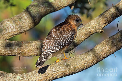 Red Shouldered Hawk Photograph - Red Shoulder Port Orange by Deborah Benoit
