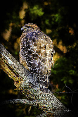 Photograph - Red-shouldered Hawk 2 by Barry Jones