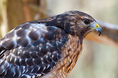 Red Shouldered Hawk Photograph - Red Shouldered Hawk 2 by Chris Flees