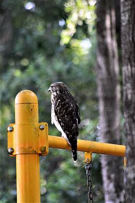 Photograph - Red-shouldered Hawk 2 by Warren Thompson