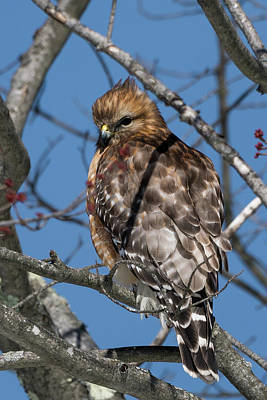 Photograph - Red Shouldered Hawk 2017 by Bill Wakeley