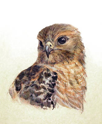 Drawing - Red-shouldered Hawk by Abby McBride