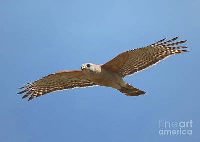 Photograph - Red-shouldered Hawk Against Blue Sky by Carol Groenen