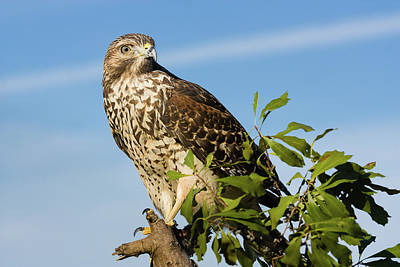 Photograph - Red-shouldered Hawk Against Blue Sky by Dawn Currie