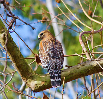 Red Shouldered Hawk Original by Arthur Bohlmann