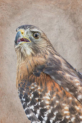 Photograph - Red-shouldered Hawk Artistic Portrait by Dawn Currie