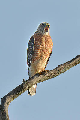 Photograph - Red-shouldered Hawk Call by Alan Lenk