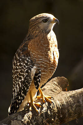 Red-shouldered Hawk Print by Carolyn Marshall