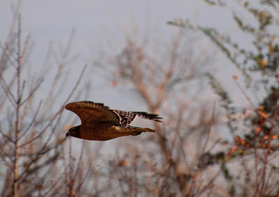 Red Shouldered Hawk Photograph - Red Shouldered Hawk  by Chris Flees
