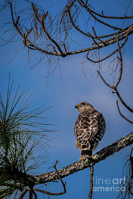 Photograph - Red-shouldered Hawk by Claudia M Photography