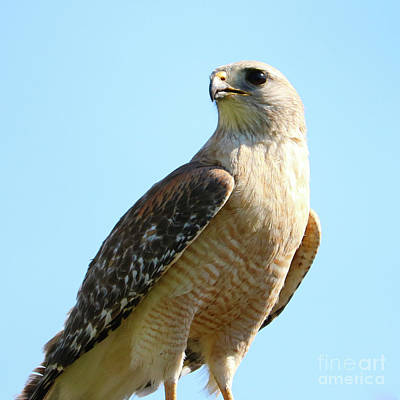 Photograph - Red-shouldered Hawk Closeup by Carol Groenen