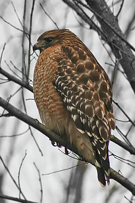 Photograph - Red-shouldered Hawk by CE Haynes