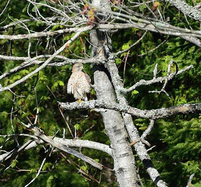 Photograph - Red-shouldered Hawk by David Porteus