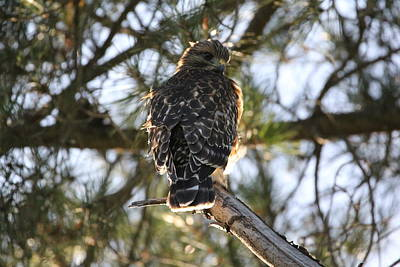 Photograph - Red Shouldered Hawk Fledgling by Liz Vernand
